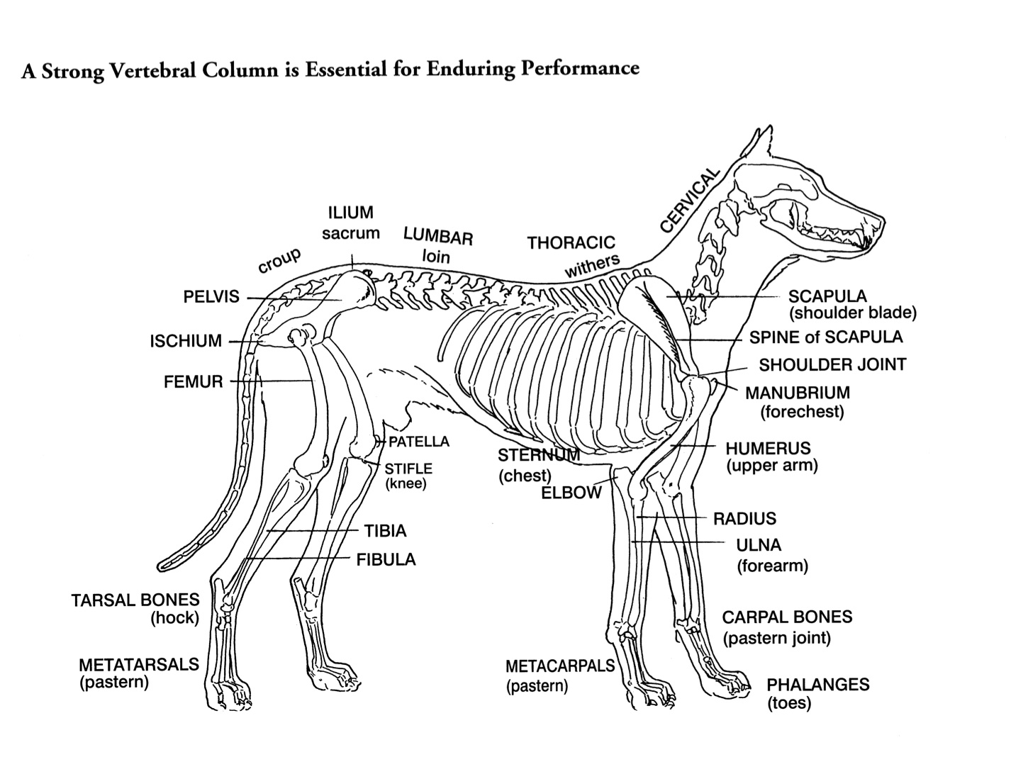 "Skeleton Drawing of a dog from Rachel Page Elliot's book ""Dogsteps"""