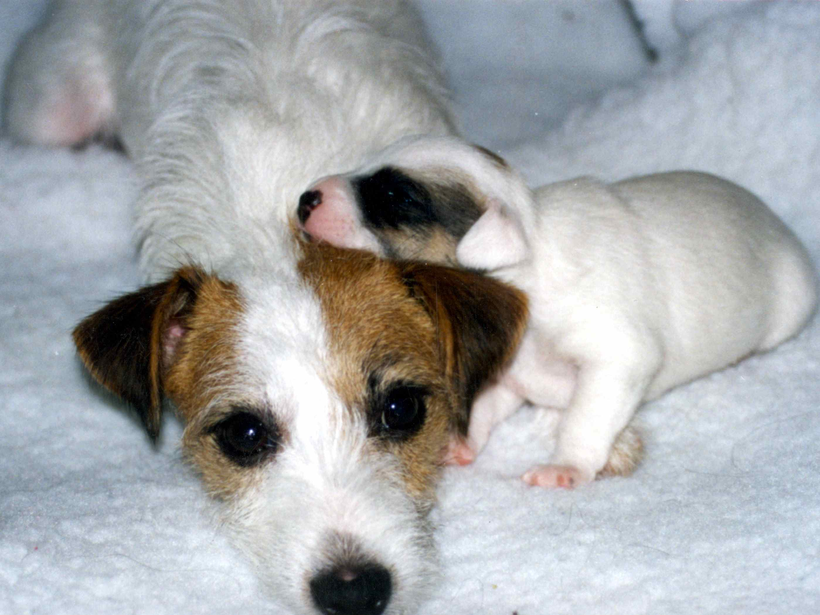 The singleton puppy susan garretts dog training blog this is my now past amazing jack russell nvjuhfo Images