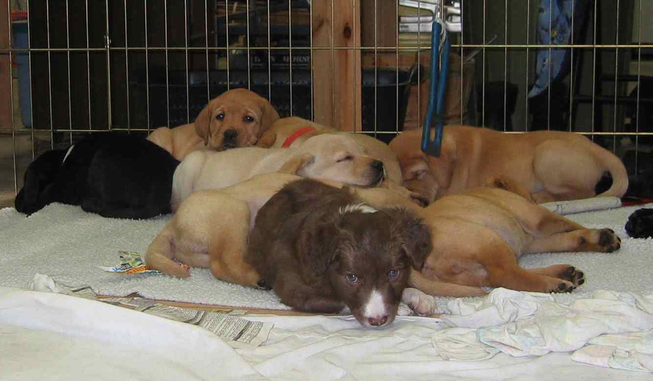 swag snoozing with lab litter